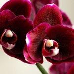 цветок по знаку гороскопу козерог